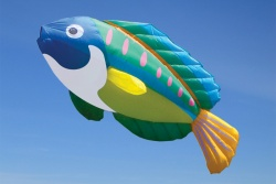 Peacock Wrasse
